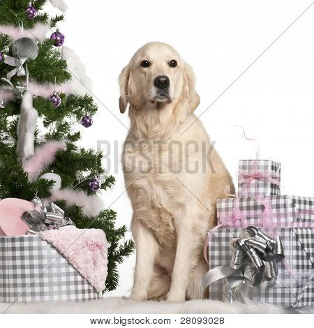 Golden Retriever, 5 years old, sitting with Christmas tree and gifts in front of white background
