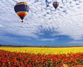 Two huge multi-color balloons slowly flies in clouds. The  blossoming fields of red and yellow garde poster