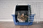 Maine Coon Cat Sitting In A Open Pet Carrier And Looking Curious Sideways. poster