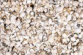 Sea Shell Background On The Beach With Lots Of Cockleshell, Clamshell, Mussels, Razor Shell. Nature  poster