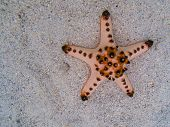 Pink Starfish On White Sand In Sea Water. Orange Pillow Starfish Banner Template. Seashore Underwate poster