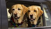 Hippie Twin Dogs In Car With Bandana poster