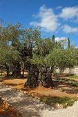 foto of gethsemane  - The great city of Jerusalem - JPG