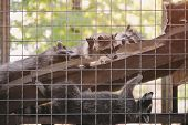 Group Of Funny Lazy Relaxing Racoons Behind Cage In Outdoor Zoo poster