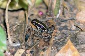 Striped Poison Dart Frog - Costa Rica Wildlife. Seen At Gandoca Manzanillo National Wildlife Refuge poster