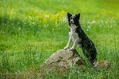 Playful Young Black And White Border Collie Dog Leaning Against A Piece Of Grey Rock, Green Grass Wi poster