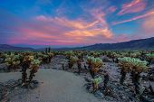 Cholla Cactus Garden In Joshua Tree National Park At Sunset. In This National Park The Mojave Desert poster