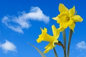 stock photo of narcissi  - Daffodils raise their heads to the sky - JPG