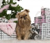 Griffon Bruxellois, 23 months old, with Christmas gifts in front of white background poster