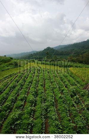 field vegetable crops