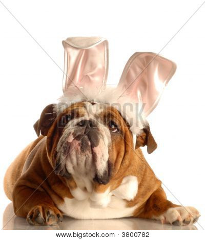 Bulldog With Bunny Ears