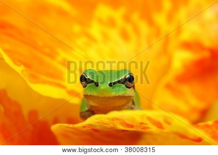 Hyla tree frog over a yellow and orange flower