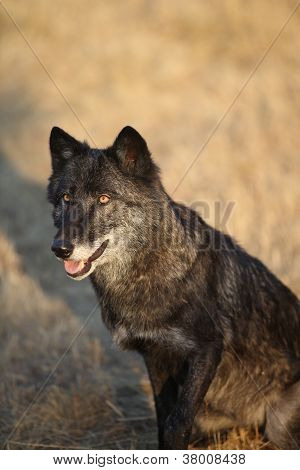 Black Colored North American Gray Wolf