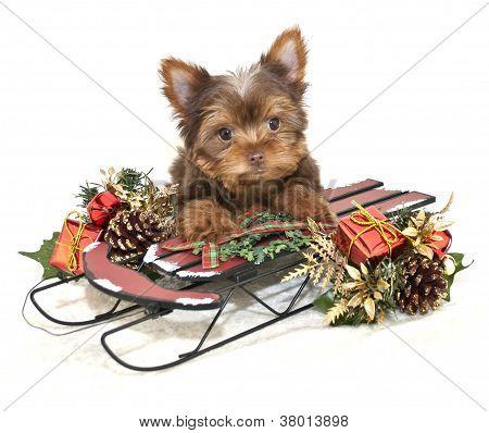 Christmas Yorkie Puppy