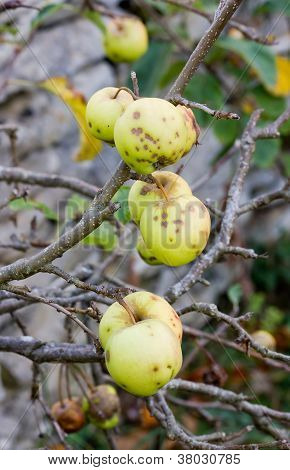 yellow hailed apple, summer end, beginning of autumn