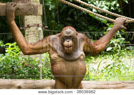 Orangutan (pongo Pygmaeus) In Saigon (vietnam)