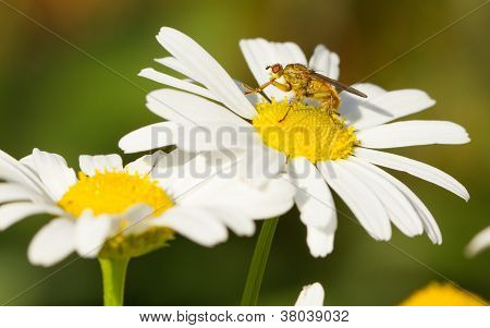 Small Fly On An Ox Eye Daisy