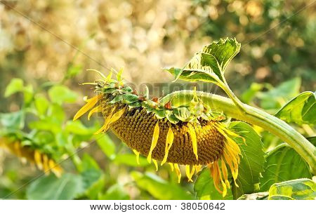 A Wilted Beautiful Organic Sunflower