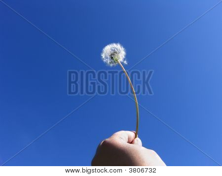 Human Freedom Dandelion Seeds On Blue Sky