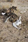 stock photo of cow skeleton  - The skeleton of cattle in the desert Gobbi - JPG