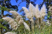 picture of pampas grass  - White Pampas Ornamental Grass which goes by botanical name  - JPG