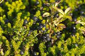 stock photo of sakhalin  - Black Cowberries On A Branch With Leaves - JPG
