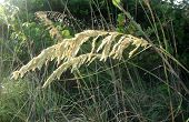 image of sea oats  - These sea oats surround the beaches of Sanibel Island - JPG