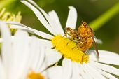 picture of animals sex reproduction  - Two flies mating on a white flower - JPG