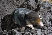 foto of mole  - A mole is crawling through the sand - JPG