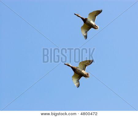 Mallard Duck (anas Platyrhynchus)