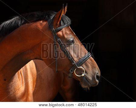 Bay stallion on black background