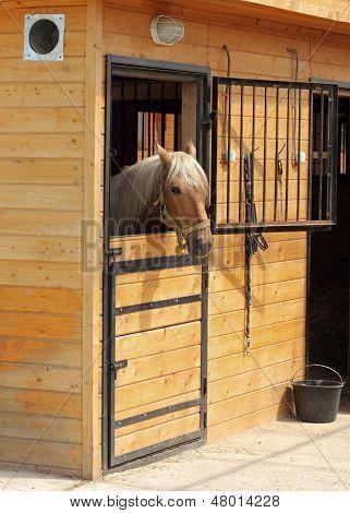 Haflinger horse inside wooden stable