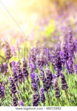 Lavender In Sunlight
