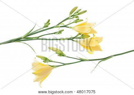 Composition Of Yellow Day Lilies