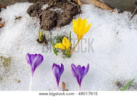 Yellow Crocus Flower Grow Snow Blue Bloom Spring