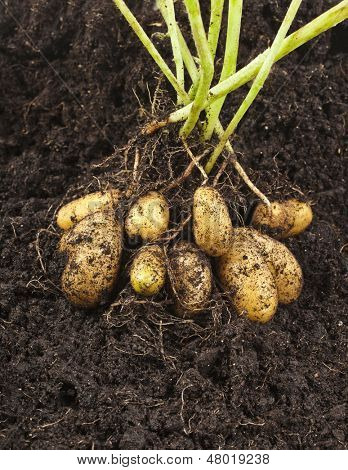potato vegetable with tubers in soil dirt surface background