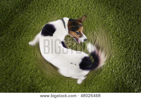 Elevated view of Jack Russell terrier chasing tail view on grass