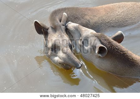young and adult tapir in water
