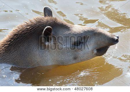 Young Tapir swimming
