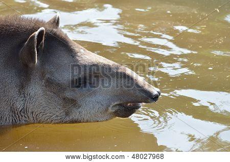 Head of Tapir in water