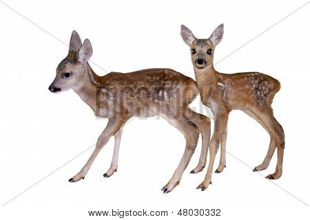 Fawns isolated