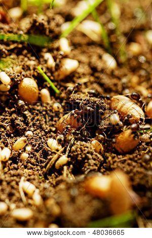 Ant Eggs