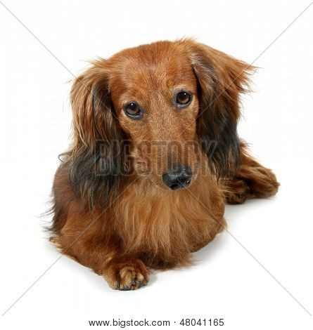 Dog long-haired dachshund pet
