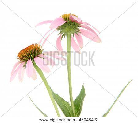 Echinacea flowers isolated on white