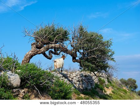 Goat on a mountain meadow at Arbus, Sardinia, italy.One goat looking far away in the mountains