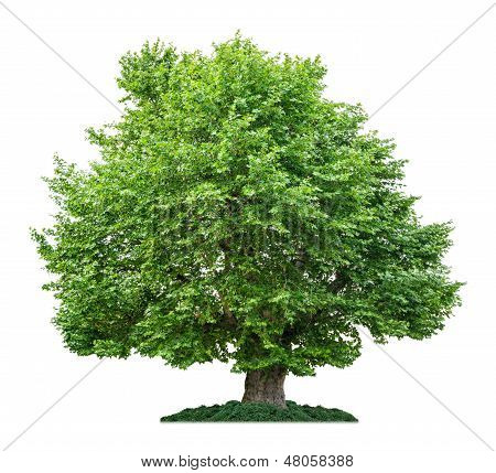 isolated plane tree on a white background