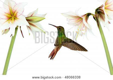 Hummingbird (archilochus Colubris) In Flight