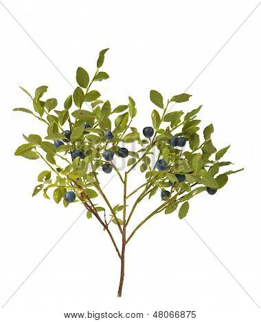 Blueberry Bush With Berries