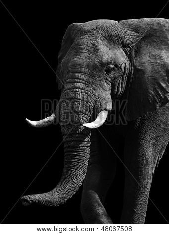 Artistic Black And White Elephant