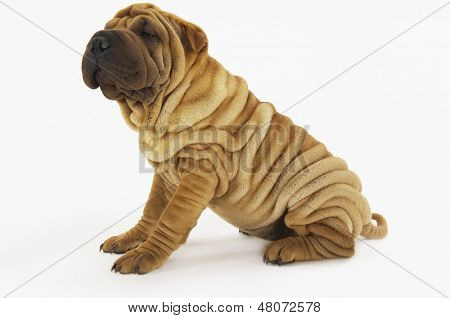 Side view of a Sharpei sitting against white background